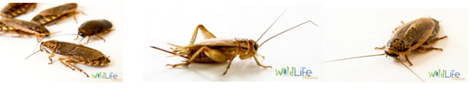 cockroach and crickets