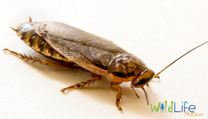 complete cockroach breeding manual