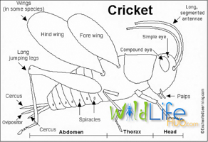 cricket-anatomy-diagram-Edit